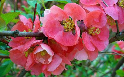La plante du mois : le cognassier du Japon, conseils jardinage