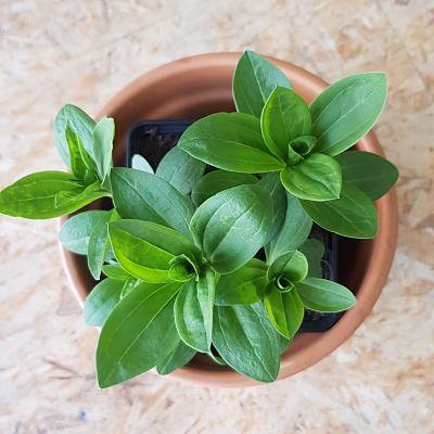 saponaire jardinage conseils plante savon