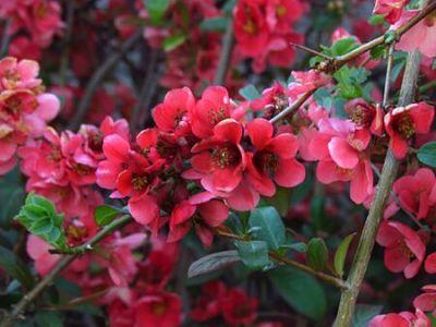 cognassier du japon plante conseil jardinage entretien découverte
