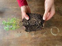 rempotage plante racines