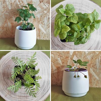 plantes francaises non traitees aromatiques vivaces