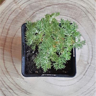 arquebuse plante aromatique vivace locale non traitee
