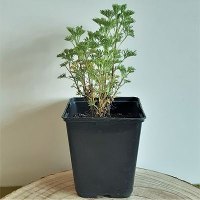 arquebuse plante aromatique infusion vivace