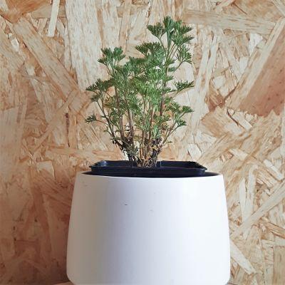 arquebuse plante aromatique vivace
