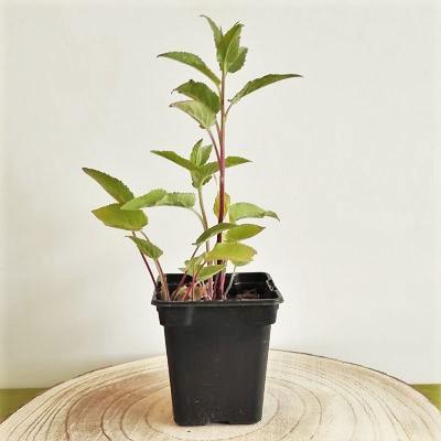 campanule raiponce plante vivace