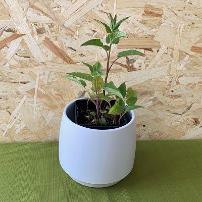 campanule raiponce plante fleurs comestibles