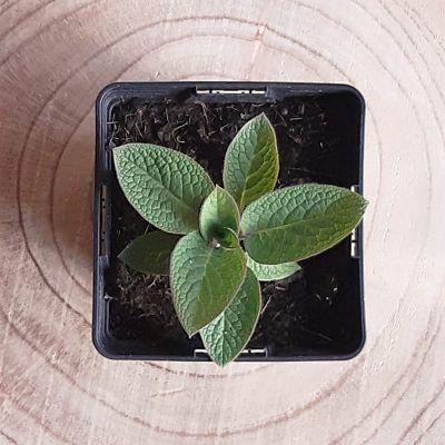 consoude plante comestible vivace jardinage