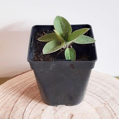consoude plante vivace jardinage