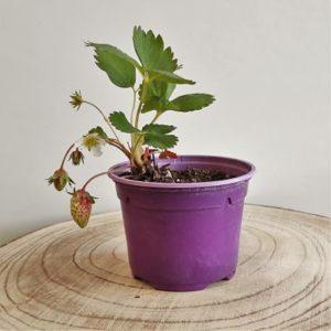 fraisier cirafine remontant plante vivace