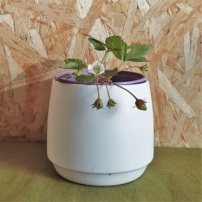 fraisier remontant plante vivace cirafine bio