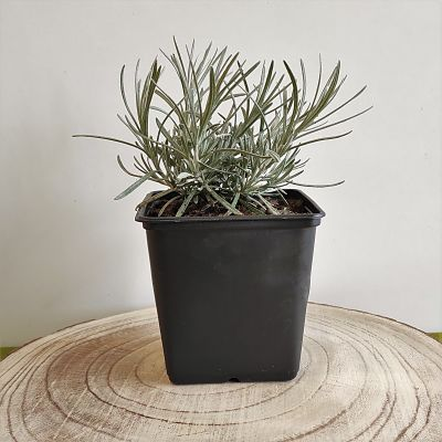 helichryse immortelle plante curry vivace