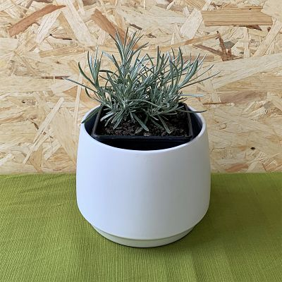 helichryse plante curry immortelle vivace