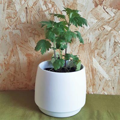 leonurus cardiaca plante medicinale comestible