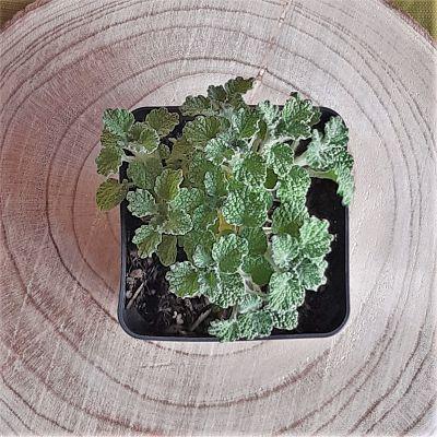marrube plante infusion vivace tisane