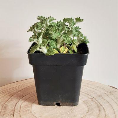 marrube plante infusion médicinale