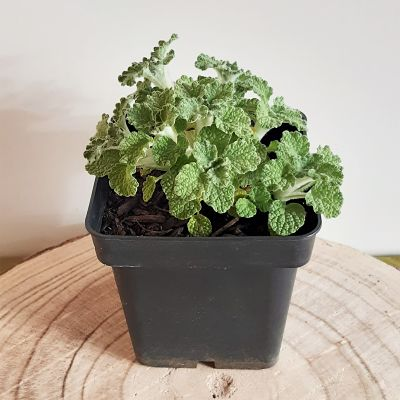 marrube plante infusion vivace