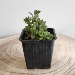plante aromatique menthe fraise