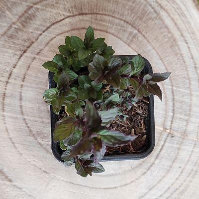 menthe reglisse plante aromatique vivace