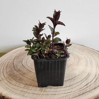 menthe reglisse plante aromatique