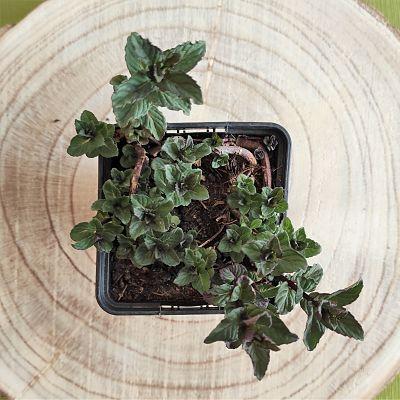 menthe reglisse plante vivace aromatique