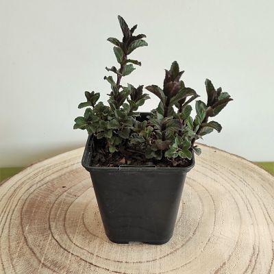 aromatique menthe reglisse plante