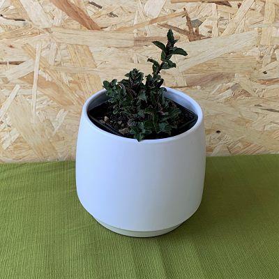 plante aromatique menthe reglisse