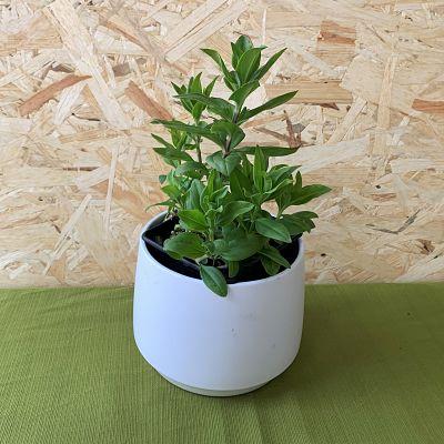 saponaire plante vivace comestible