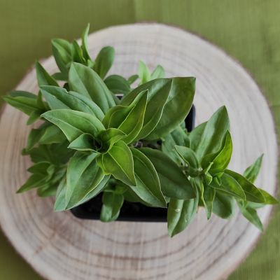 saponaire plante vivace comestible savon