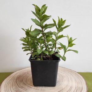 saponaire plante savon vivace