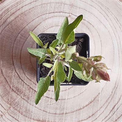 sauge officinale plante aromatique vivace