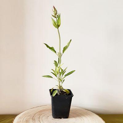 sauge officinale plante aromatique