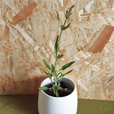 sauge officinale plante vivace aromatique