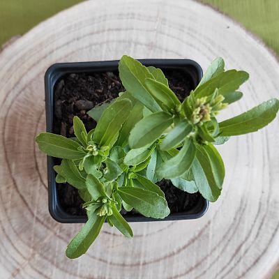 stevia plante sucre aromatique