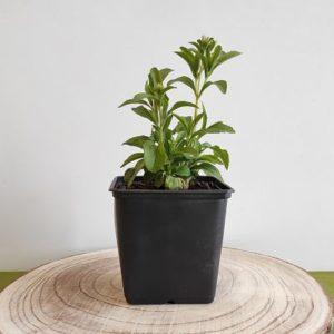 stevia plante aromatique sucre