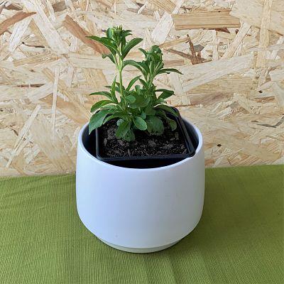 stevia plante comestible sucre