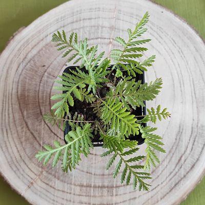 tanaisie plante aromatique vivace