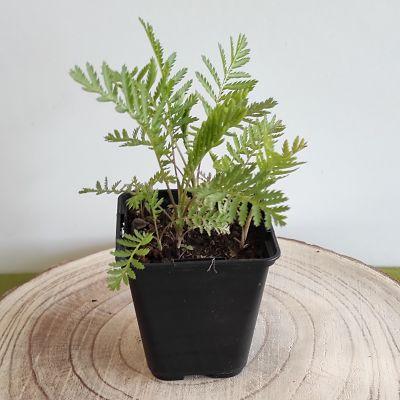 tanaisie plante vivace aromatique