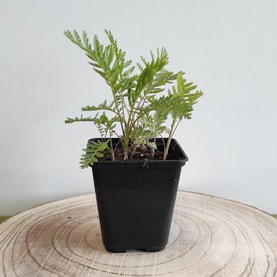 tanaisie plante aromatique comestible