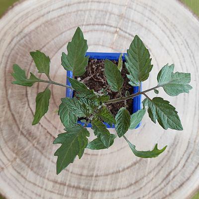 tomate cerise plante comestible bio