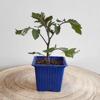 tomate cerise bio plant jardinage