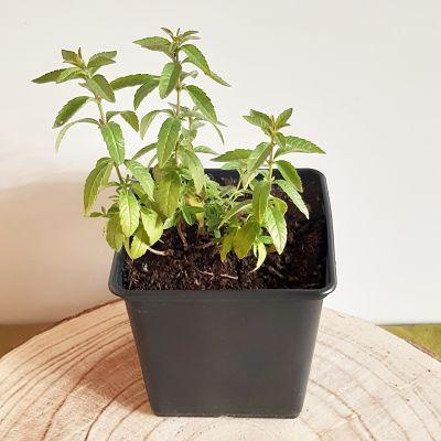 verveine citronnelle plante aromatique vivace