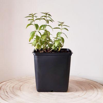 verveine citronnelle plante aromatique vivace comestible