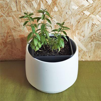 verveine citronnelle plante aromatique vivace tisane