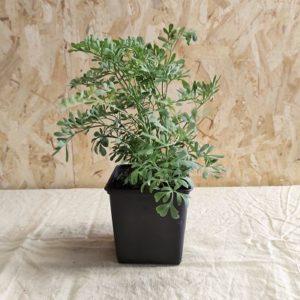rue officinale plante aromatique ecoresponsable