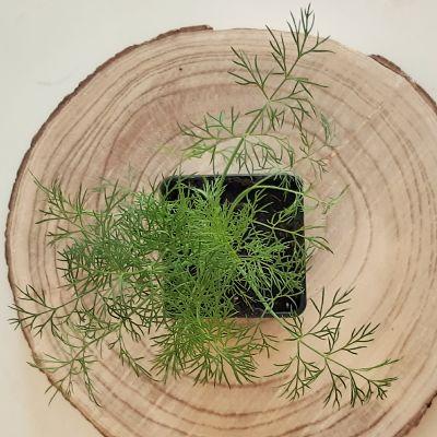 aneth plante aromatique annuelle