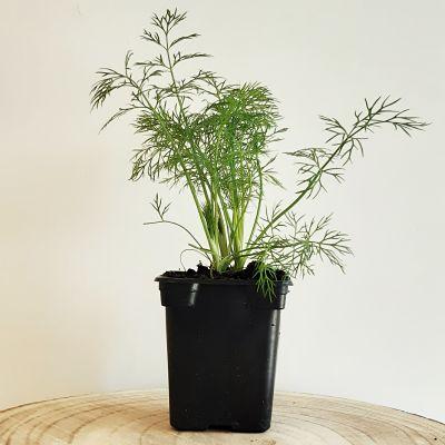 aneth plante aromatique annuelle francaise
