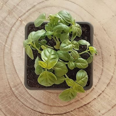 basilic grand vert plante aromatique
