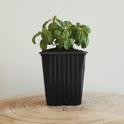 basilic grand vert plante aromatique vivace