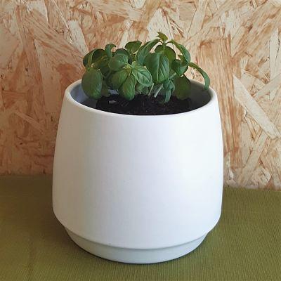 basilic plante aromatique vivace