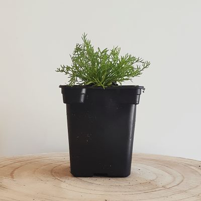 camomille romaine plante vivace aromatique